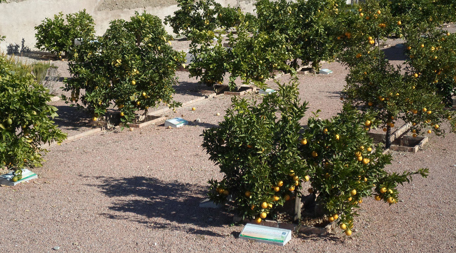 Naranja Colección de Variedades - Turismo Palma del Río - Córdoba